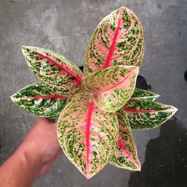 jenis-tanaman-aglonema-widuri