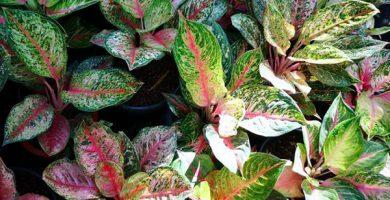koleksi-tanaman-aglonema