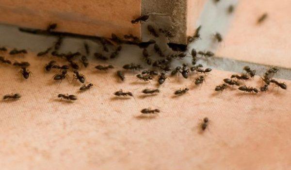 6-cara-ampuh-untuk-mengusir-semut