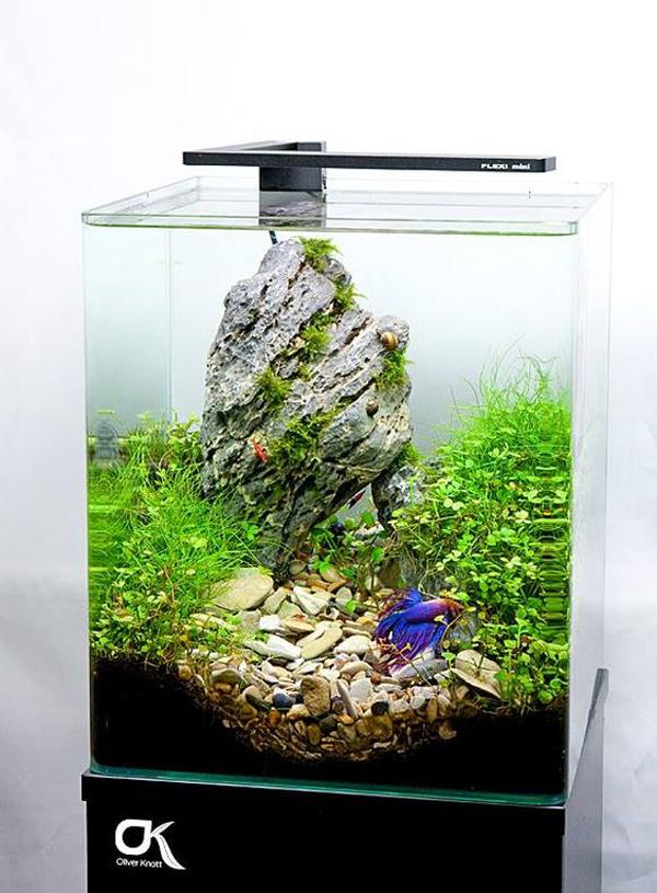 aquarium-ikan-cupang-mini-tema-iwagumi