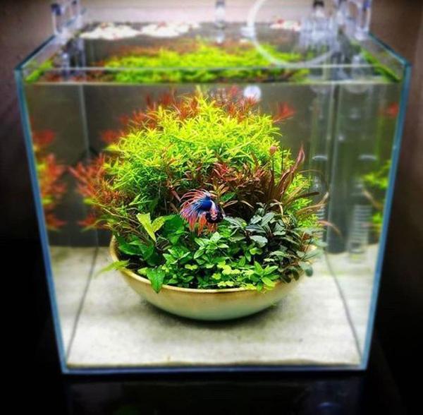 aquascape-ikan-cupang-unik-dengan-mangkuk