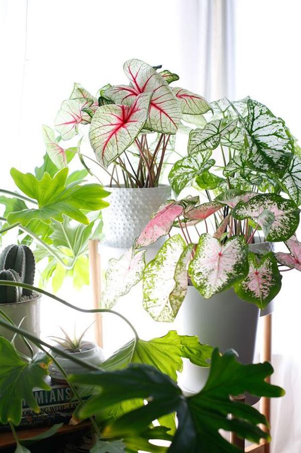 dekorasi-tanaman-keladi-dalam-rumah