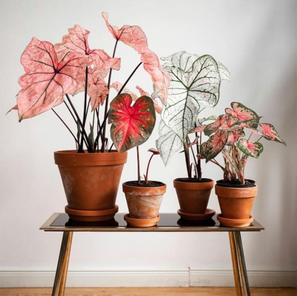 dekorasi-tanaman-keladi-hias