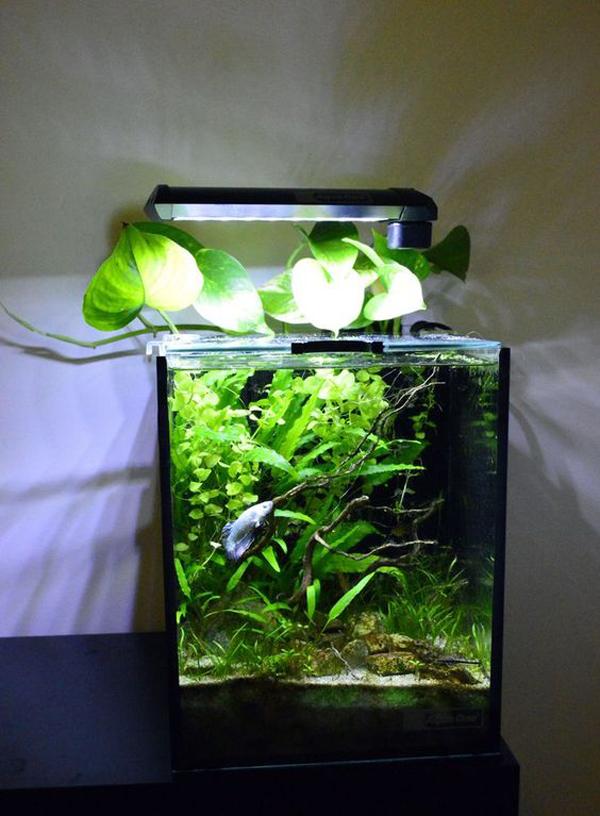 desain-tank-ikan-cupang-dengan-tanaman