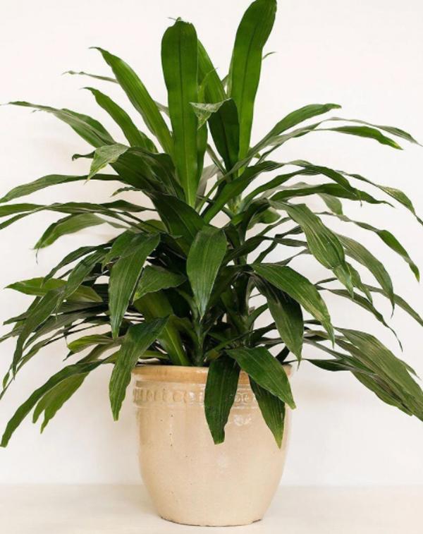 janet-craig-untuk-tanaman-dalam-ruangan