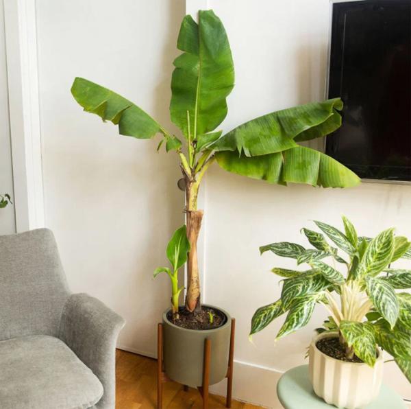 pohon-pisang-dalam-ruangan