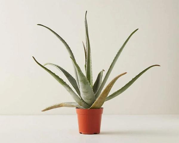 tanaman-aloe-vera