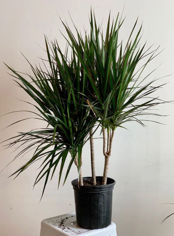 tanaman-dracaena-marginata