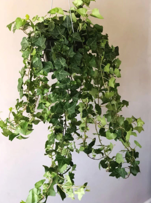 tanaman-english-ivy