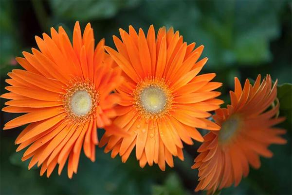 tanaman-garbera-daisy