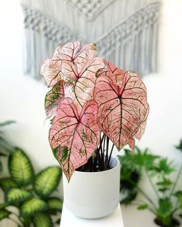 tanaman-keladi-pink-untuk-ruangan