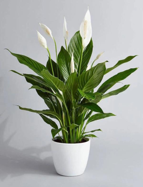 tanaman-peace-lily