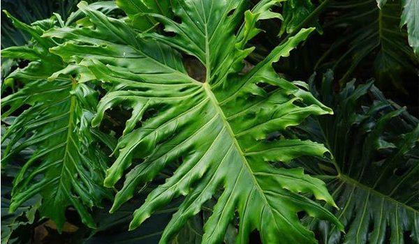 tanaman-pembersih-udara-rekomendasi-nasa