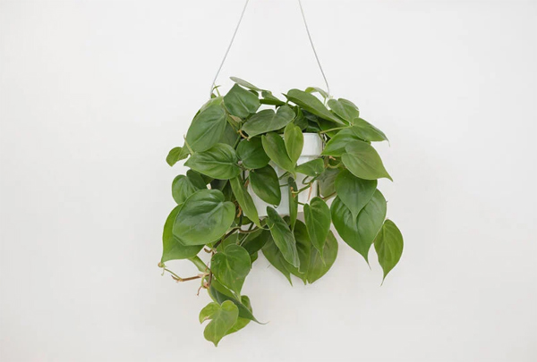 tanaman-philodendron-cordatum