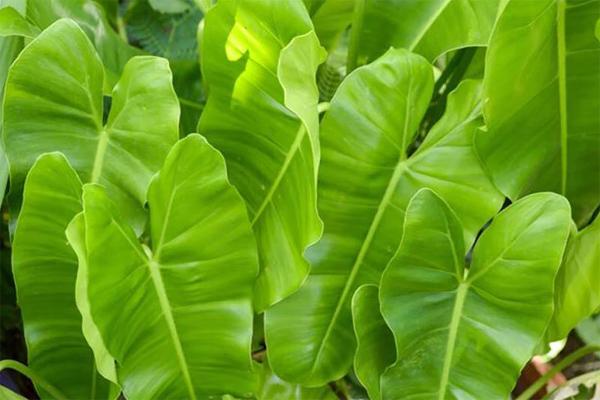 tanaman-philodendron-domesticum