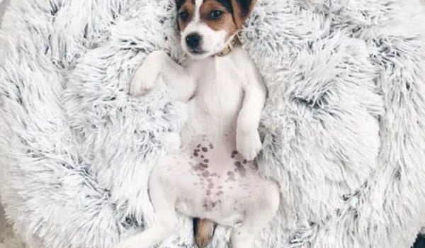 desain-tempat-tidur-anjing