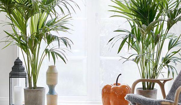 ide-tanaman-palem-ganda-dalam-ruangan