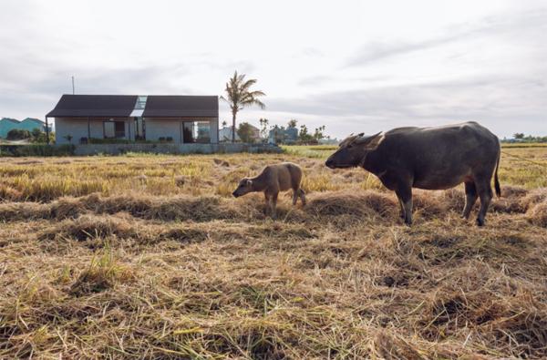 villa-dengan-pemandangan-sawah-dan-kerbau