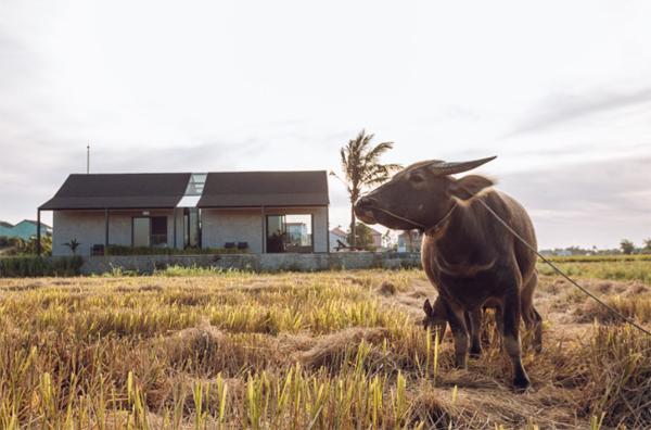 villa-dengan-sawah-dan-kerbau